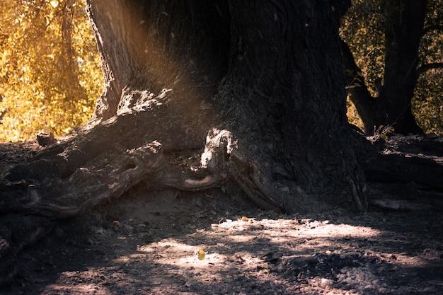 Raizes de bela árvore e sol na floresta de outono.