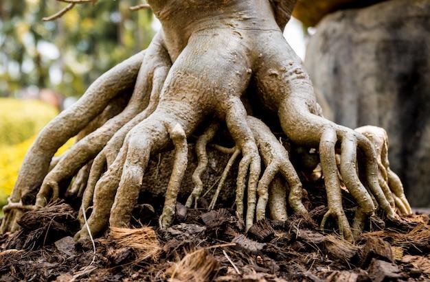 Raízes de bonsai no composto