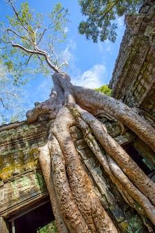 Raízes de uma árvore gigante em angkor wat, no camboja