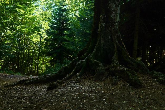 Raízes de uma velha faia crescendo ao longo de um caminho de montanha em uma floresta sombreada