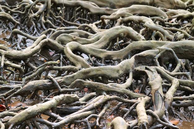 Raízes incríveis da árvore da floresta do mangue, província de trat de tailândia