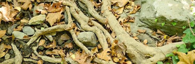 Raízes nuas de árvores projetando-se do solo em penhascos rochosos e folhas caídas no outono.