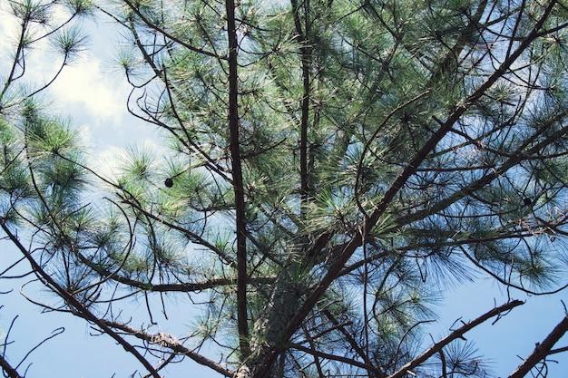 Ramas de pino com cielo de fondo