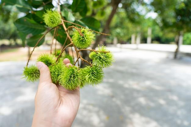 Rambutan from green rambutan trees quando é hora de colher, o rambutan