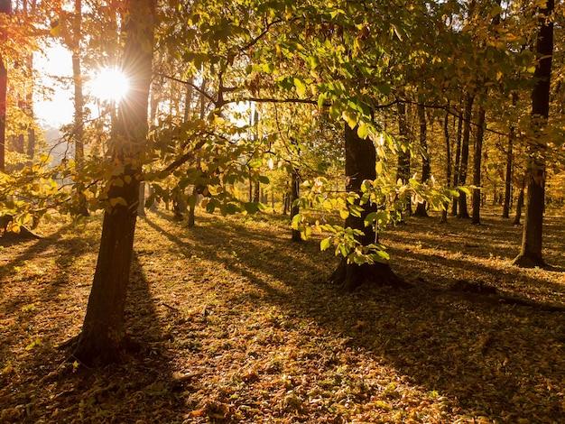 Ramifique com folhas coloridas de amarelas. floresta de outono com o sol da manhã brilhando por entre as árvores. um passeio no parque outono com bela natureza e folhas caídas.