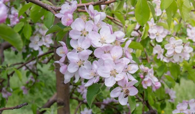 Ramifique com uma flor de maçã na qual a abelha se senta.