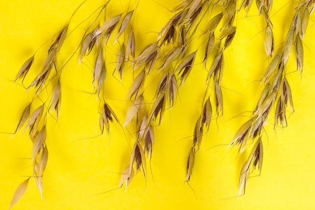 Raminho de aveia e grão de aveia em um fundo amarelo