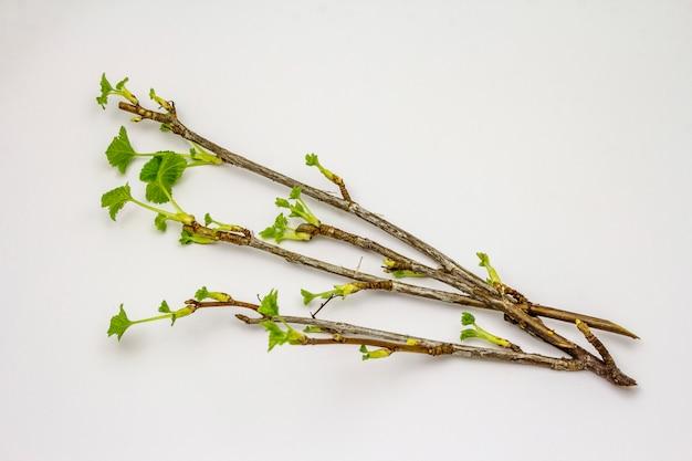 Raminho de groselha com folhas verdes, isolado no fundo branco
