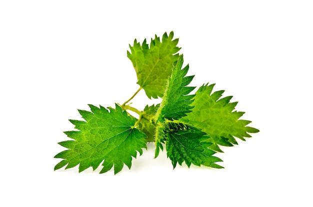 Raminho de urtiga verde isolado