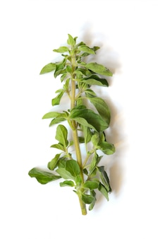 Raminho verde fresco de orégano