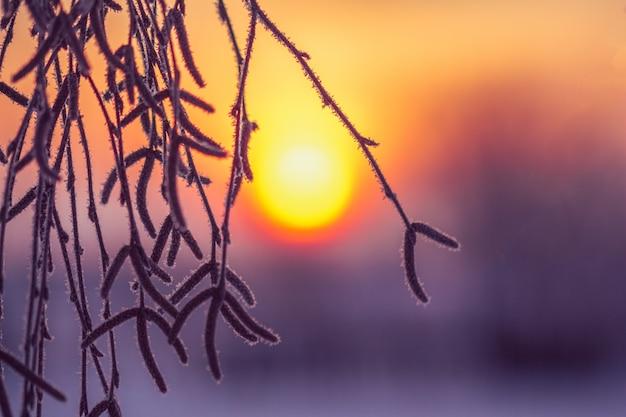Raminhos de bétula em uma manhã gelada com o sol