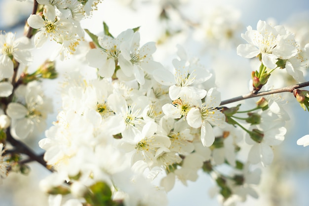 Raminhos de floração cereja