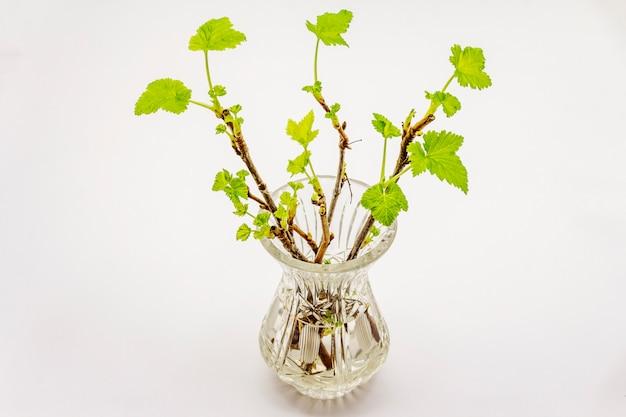 Raminhos de groselha com folhas verdes em vaso de cristal isolado no fundo branco