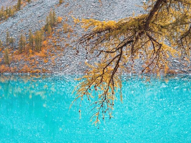 Ramo amarelo de uma árvore de lariço no fundo de um lago turquesa. fundo turquesa natural outono. copie o espaço.