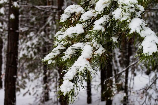 Ramo coberto de neve branco do pinho na floresta do inverno.