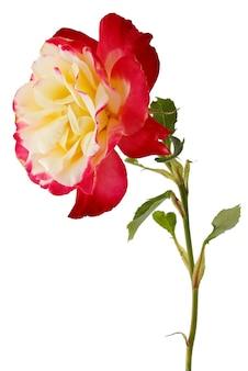 Ramo com botão de flor rosa desabrochando isolado na superfície branca