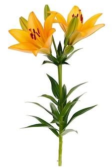Ramo com flor de lírio em botão desabrochando isolada no fundo branco