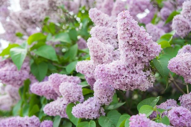 Ramo da primavera em flor lilás roxo claro