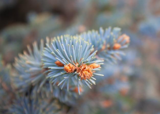 Ramo de abeto azul com pequenos cones jovens