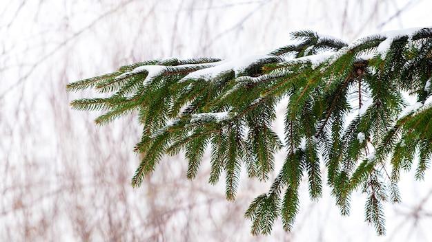Ramo de abeto coberto de neve em um fundo claro