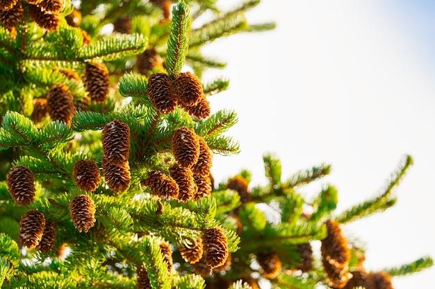 Ramo de abeto espinhoso com pinhas castanhas, fundo de férias de natal.