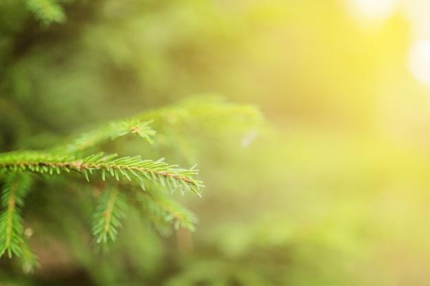Ramo de abeto verde closeup ao ar livre