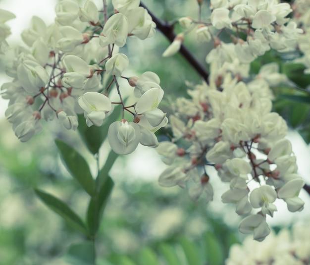 Ramo de acácia branca florescendo