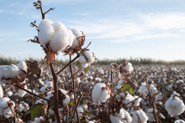 Ramo de algodão maduro no campo de algodão