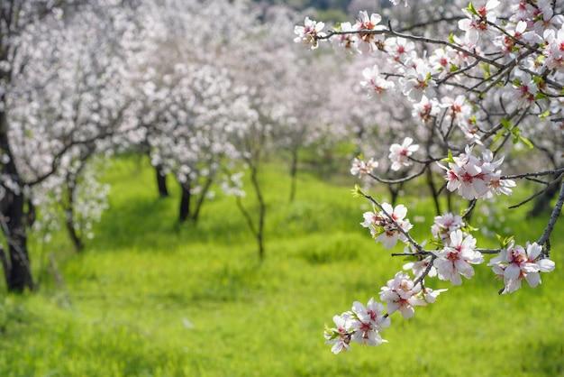 Ramo de amendoeira florescendo sobre a grama verde e o jardim de amêndoa com foco seletivo e espaço de cópia