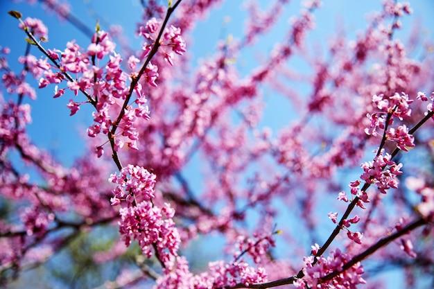 Ramo de árvore de flor de cerejeira