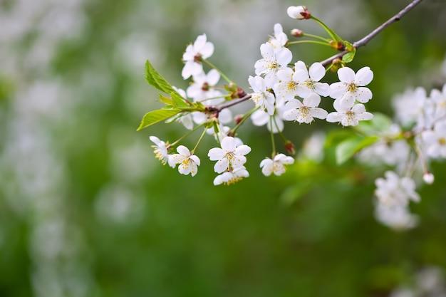 Ramo de árvore em flor