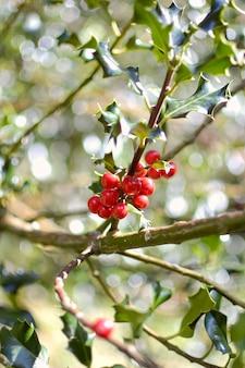 Ramo de azevinho comum com seus frutos