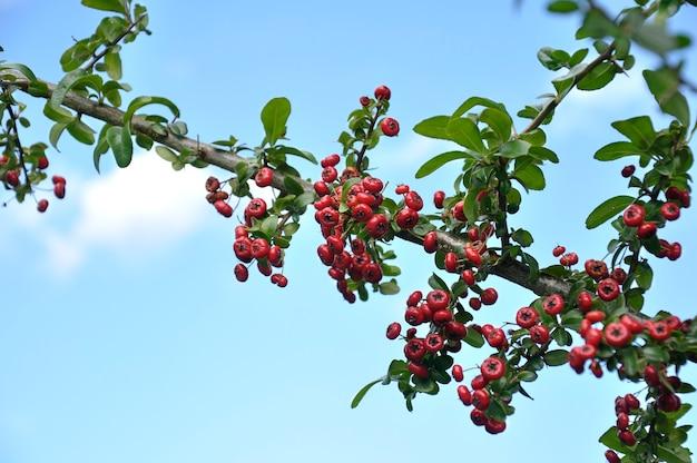 Ramo de azevinho comum ilex aquifolium com seus frutos