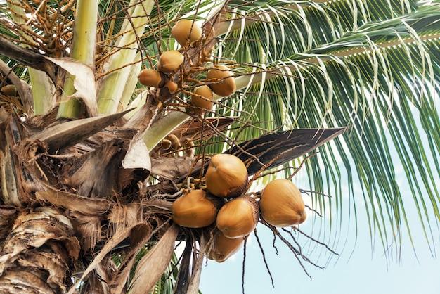 Ramo de bagas de coco na palmeira