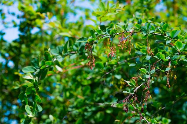 Ramo de bérberis vermelha amadurecendo após uma chuva com gotas de água Foto Premium