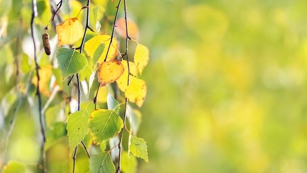 Ramo de bétula com folhas de outono brilhantes com fundo desfocado