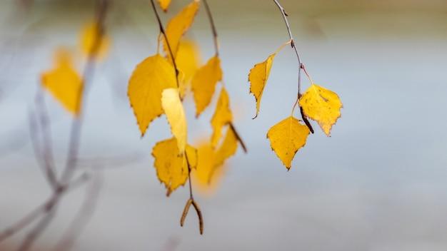 Ramo de bétula com folhas douradas de outono em um fundo desfocado