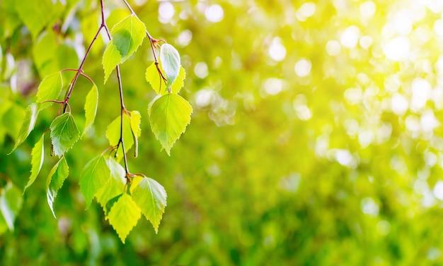 Ramo de bétula com folhas verdes brilhantes e suaves sobre um fundo claro e ensolarado. copiar space_