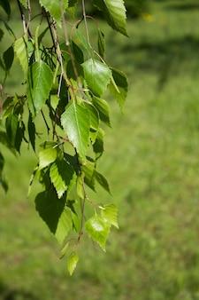 Ramo de bétula na floresta em dia de verão.