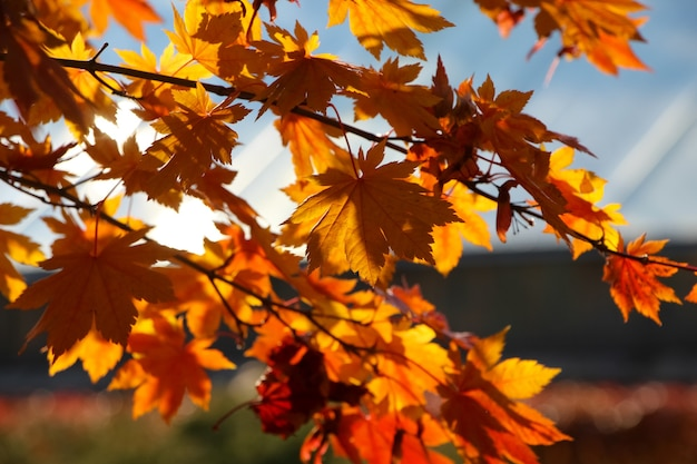 Ramo de bordo em leque com folhas vermelhas alaranjadas em contraluz contra o céu em um jardim botânico de outono