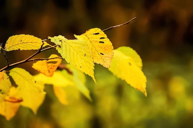 Ramo de carpa com folhas amarelas no outono