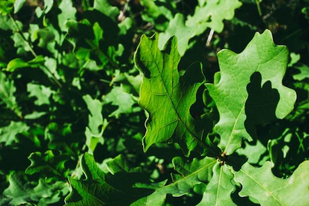 Ramo de carvalho com folhas verdes em um dia ensolarado. carvalho no verão.