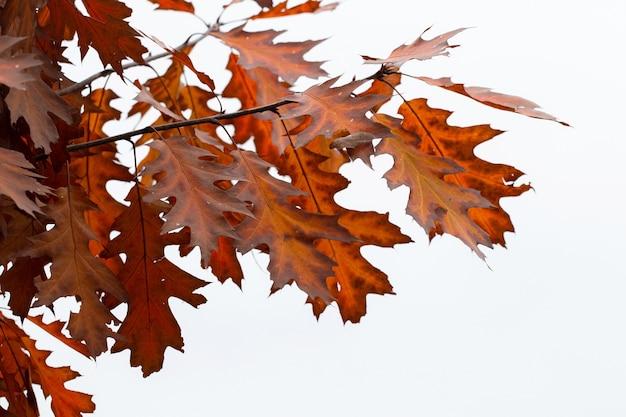 Ramo de carvalho vermelho com folhas secas de outono em um fundo branco