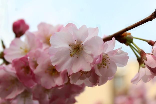 Ramo de cereja com flores