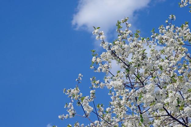 Ramo de cereja florescendo contra o céu azul e nuvens brancas
