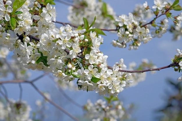 Ramo de cereja florescendo contra o céu azul