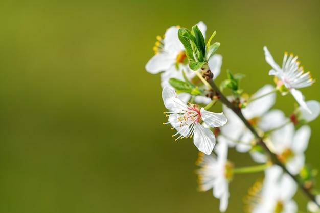 Ramo de cereja florescendo em fundo verde