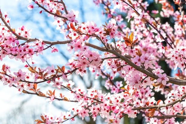 Ramo de cereja japonesa com flores cor de rosa em um dia ensolarado no fundo do céu azul