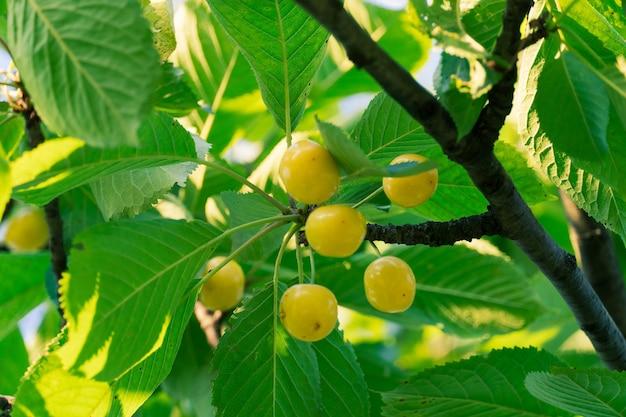 Ramo de cerejas amarelas naturais frescas. fresco, natural e saudável. cerejas amarelas em um galho
