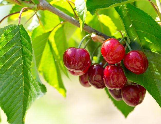 Ramo de cerejas maduras